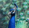 Go to the profile of Léon the Peacock