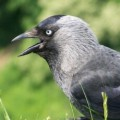Go to the profile of Jackdaw