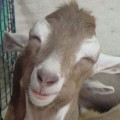 Go to the profile of goat-on-a-stick
