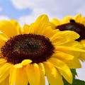 Go to the profile of Essential Sunflowers