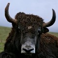 Go to the profile of Yak Stalker