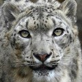 Go to the profile of Snow Leopard Trust