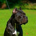 Go to the profile of Cane Corso Puppies
