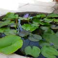 Go to the profile of Lotus in Cambodia