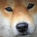 Go to the profile of The Daily Shiba
