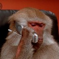 Go to the profile of serious baboon