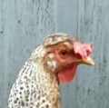 Go to the profile of The Enquiring Chook