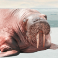 Go to the profile of Walrus