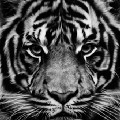 Go to the profile of Lost Life as Tiger