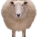 Go to the profile of Little White Sheep