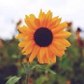 Go to the profile of Sunflowers
