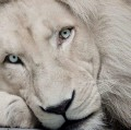 Go to the profile of white lion