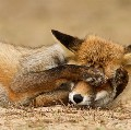 Go to the profile of A Shy Fox