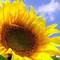 Go to the profile of Sunflowers in the City