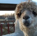 Alpaca Review