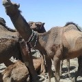 Camel! A One in All Creatures