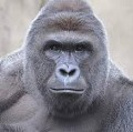 Go to the profile of Harambe