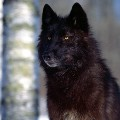 Go to the profile of Lupo the Lone Wolf