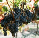 Harvest Time in California Wine Country: An Essential Guide to Napa and Sonoma