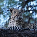 Hangin' with the Leopards, Botswana