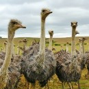 Unconventional Profit: Raising Ostriches