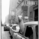 Fifteen Things to Do With a Llama in New York City