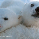 Why polar bear conservation needs more collaborative action