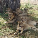 The biggest threat to African lions isn't trophy hunters, it's their lack of value to local people