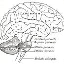 Ancient Occult Facts About the Brain Unknown to Neuroscientists: The Cerebellum Does Not Generate…