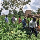 In East African cassava fields, a new genomics tool is saving crops and lives