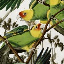 Settlers killed off the only parrot species native to the United States