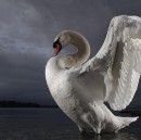 Climate change is a white swan