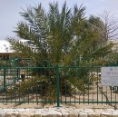 This amazing date tree was grown from a seed preserved since the time of Jesus