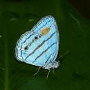 DNA Barcodes Reveal Two Distinct Butterflies Are Male & Female Of Same Species | @GrrlScientist