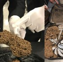 Smuggler caught with entire ant colony in his luggage. Was planning to turn it into wine.