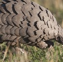 What's a pangolin?