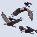 The Story Behind this Incredible Photo of a Crow Riding an Eagle