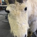 Office Hack #6 — The Mode Analytics Office Goat