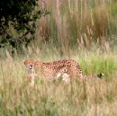 Overcoming the Cheetah in the Grass