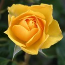 Who was the Yellow Rose of Texas?