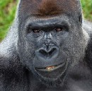 What Gorillas Can Teach Us About Leadership
