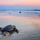 When is a turtle more than a turtle?