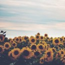 Why a sunflower?