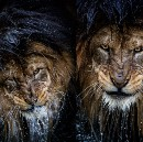 If Looks Could Kill: The Story Behind the Most Intense Lion Portrait