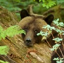 Navigating the Anthropocene: embracing compassion and empathy for the grizzly bears in the age of…