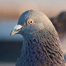 Open letter to the tech bro who spat at me, from that pigeon eating a noodle on Market Street