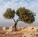 The Intellectual Olive Tree