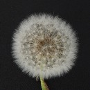 Why innovation teams suck and how to turn whales into dandelions