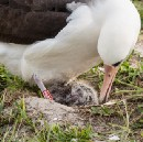 Wisdom, the Laysan albatross and world's oldest known breeding bird, hatched another chick!