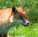 The Cover Letter of a Fox Applying for a Job as a Hen House Guard